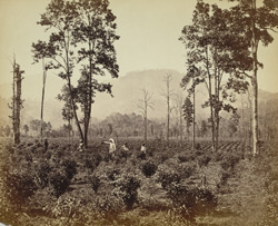 Plantation of the Terai Tea Association, Darjeeling.